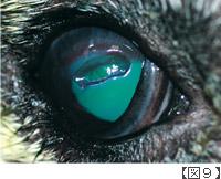 深部角膜潰瘍もしくはデスメ膜瘤