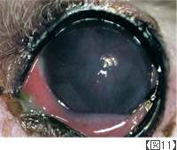 乾燥性角結膜炎(KCS)